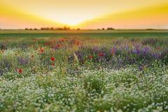 Por do sol sobre um campo das papoilas e da camomila Fotografia de Stock