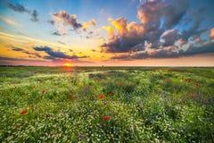 Por do sol sobre um campo das papoilas e da camomila Fotografia de Stock Royalty Free