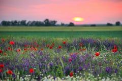 Por do sol sobre um campo das papoilas e da camomila Imagens de Stock