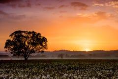 Por do sol surpreendente sobre o campo de narcisos amarelos selvagens amarelos bonitos Fotografia de Stock