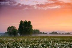 Por do sol surpreendente sobre o campo de narcisos amarelos selvagens amarelos bonitos Foto de Stock Royalty Free