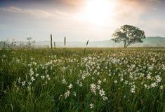 Por do sol surpreendente sobre o campo de narcisos amarelos selvagens amarelos bonitos Imagens de Stock
