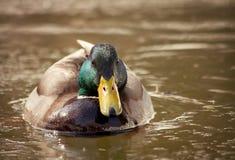 Por la mañana en un pato de la natación de la charca Foto de archivo libre de regalías