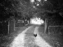 Por que a galinha cruzou a estrada? Fotos de Stock