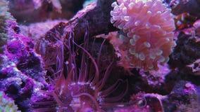 Porada anemon, różowi acropora korale, akwarium zbiory wideo