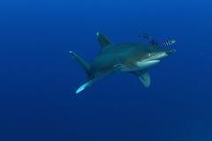 Porada oceaniczny Biały rekin (Carcharinus longimanus) Zdjęcie Royalty Free