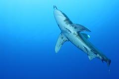 Porada oceaniczny Biały rekin (Carcharinus longimanus) Obrazy Stock