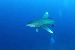 Porada oceaniczny Biały rekin (Carcharinus longimanus) Obraz Stock