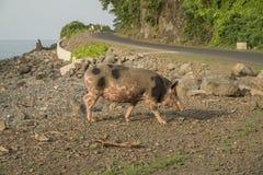 Porc à marcher par la mer Images libres de droits