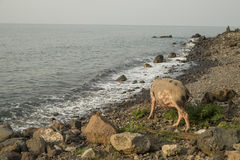 Porc à marcher par la mer photos stock