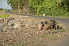 Porc à marcher par la mer Image libre de droits