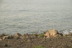 Porc à marcher par la mer Photo libre de droits