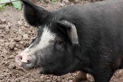 Porc à une ferme belge image stock