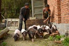 Porc-élevage--la vie écologique naturelle dans la campagne chinoise Images stock