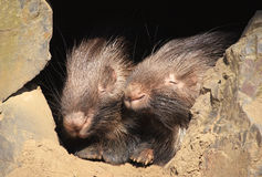 Porc-épic Photo libre de droits