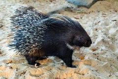 Porc-épic crêté indien ou Hystrix indica sur le sable photos libres de droits