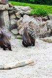 Porc-épic d'animal sauvage dans la région sauvage Photographie stock libre de droits
