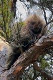 Porc-épic dans un arbre Photographie stock libre de droits
