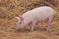 Porc Photo stock