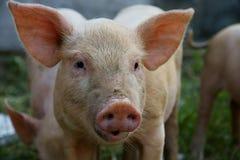 Porc photos stock