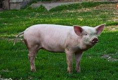 Porc Image libre de droits