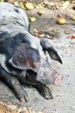 Porc Photographie stock libre de droits