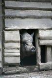 Porc Photographie stock