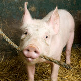 Porc Photographie stock