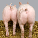Porc Photo stock