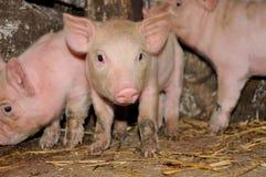 Porc. Photographie stock libre de droits