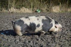Porc Photo libre de droits
