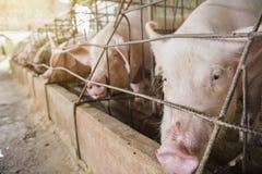 Porc Photos libres de droits