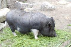 Porc accrochant vietnamien de ventre Images libres de droits