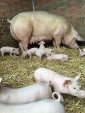 Porc avec des porcelets Photo libre de droits