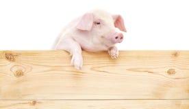 Porc avec le conseil photo stock