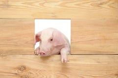 Porc avec le conseil Photographie stock