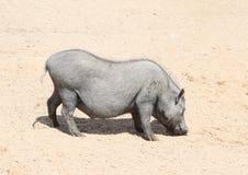 Porc avec le veau image stock
