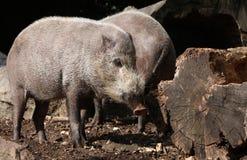 Porc barbu photographie stock libre de droits