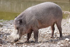 Porc barbu photographie stock