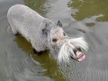 Porc barbu dans l'eau image libre de droits