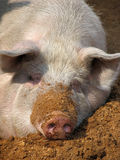 Porc blanc Images stock