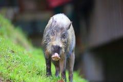 porc bornean barbu image libre de droits