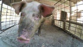Porc boueux sale dans un stylo à la ferme - banque de vidéos