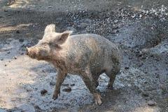 Porc chanceux Photographie stock