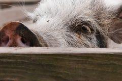 Porc curieux Photo stock