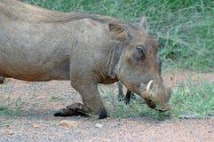 Porc d'agenouillement. Images libres de droits