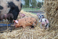 Porc d'Oxford et de Sandy Black Piglets et de mère photo stock