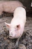 Porc dans la boue Photographie stock