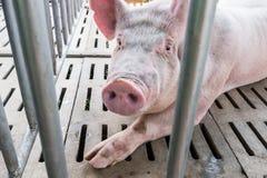 Porc dans la cage Photographie stock