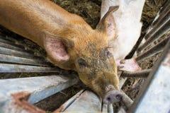 Porc dans le stylo Images libres de droits
